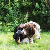 Funny young dogs breed english springer spaniel and dachshund play togethe on in summer nature. Funny young dogs breed english springer spaniel and dachshund royalty free stock photography
