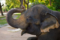 Funny young elephant. Close up of young elephants head Stock Photo