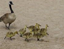 Funny young geese on the beach Royalty Free Stock Image