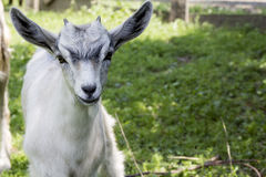 Funny young goatling Stock Image