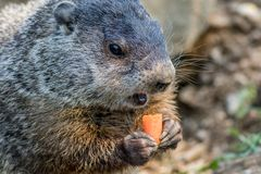 Funny young groundhog holds a carrot with both hands. Adorable small funny young groundhog Marmota Monax holds a carrot with both hands with carrot piece in royalty free stock photo