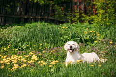 Funny Young Happy Labrador Retriever Sitting In Grass And In Yel Stock Photos