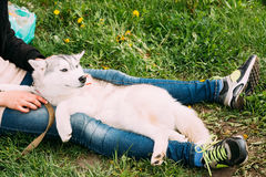 Funny Young Husky Puppy Dog Sits In Girl Embrace In Green Grass Stock Photo