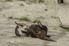 Funny young male otter playing with stones. This animal is laying on his back and having fun juggling small rocks Stock Images