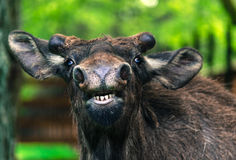 Funny young moose close-up posing Royalty Free Stock Images