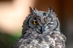Funny Young Owl. Closeup portrait of funny looking great European Owl stock photo