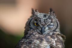 Funny Young Owl Stock Images