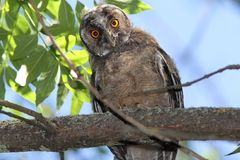 Funny young owl looking at camera Royalty Free Stock Photography