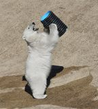 Funny young polar bear Ursus maritimus playing. In summer stock photography
