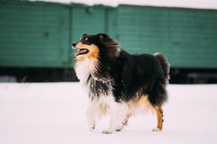 Funny Young Shetland Sheepdog, Sheltie, Collie Dog Playing And Running Outdoor In Snow, Stock Images