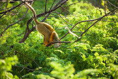 Funny young squirrel monkey Royalty Free Stock Images