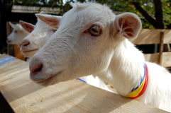 Funny young white goats Royalty Free Stock Photos