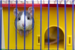Funny young white and gray tame curious mouse hamster baby with shiny eyes looking from bright yellow cage through bars. Keeping. Pet friends at home, care and stock photos