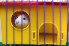 Funny young white and gray tame curious mouse hamster baby with shiny eyes looking from bright yellow cage through bars. Keeping. Pet friends at home, care and royalty free stock photos