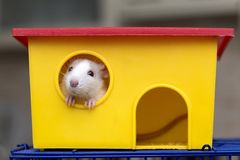 Funny young white and gray tame curious mouse hamster baby with shiny eyes looking from bright yellow cage window. Keeping pet. Friends at home, care and love royalty free stock image