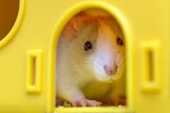 Funny young white and gray tame curious mouse hamster baby with shiny eyes looking from bright yellow cage window. Keeping pet. Friends at home, care and love royalty free stock photo