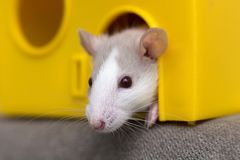 Funny young white and gray tame curious mouse hamster baby with shiny eyes looking from bright yellow cage window. Keeping pet. Friends at home, care and love stock photography