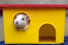 Funny young white and gray tame curious mouse hamster baby with shiny eyes looking from bright yellow cage window. Keeping pet. Friends at home, care and love stock image