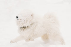 Funny Young White Samoyed Dog Or Bjelkier, Smiley, Sammy Playing Royalty Free Stock Image