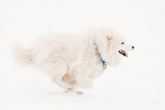 Funny Young White Samoyed Dog Or Bjelkier, Smiley, Sammy Playing Royalty Free Stock Images
