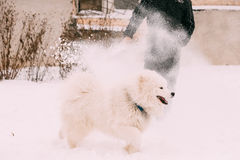 Funny Young White Samoyed Dog Or Bjelkier, Smiley, Sammy Playing Royalty Free Stock Photos