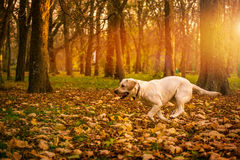 Funny young yellow labrador in beautiful autumn park on sunny day. Autumn portrait of white labrador running on fall leaves. Labrador dog outdoors the autumn Stock Images