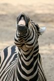 Funny Zebra Stock Photos
