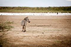 Funny zebra Equus quagga royalty free stock photo