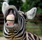 Funny zebra. Open mouth and show teeth royalty free stock image