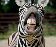 Funny zebra. Open mouth and show teeth Royalty Free Stock Images