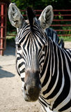 Funny zebra Stock Photos