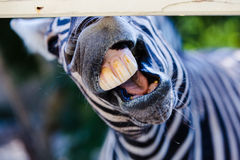 Funny zebra. Funny picture of the zebra in the zoo Royalty Free Stock Images