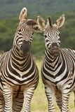 Funny Zebras Royalty Free Stock Photos