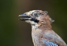 Funny bird portrait Royalty Free Stock Photography