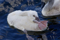 The funy cute chick swan is stretching out her leg while cleaning the feathers Stock Photo