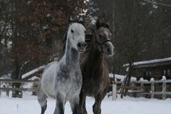 Funzionamenti arabi dei cavalli Inverno fotografia stock