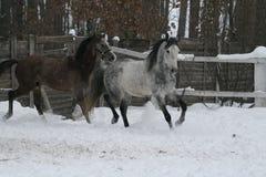 Funzionamenti arabi dei cavalli nella neve io fotografia stock libera da diritti