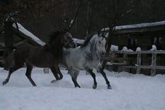 Funzionamenti arabi dei cavalli nella neve fotografia stock libera da diritti