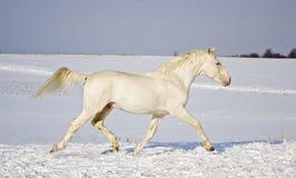 Funzionamenti bianchi dello stallone nel campo di neve Immagini Stock Libere da Diritti