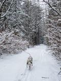 Funzionamenti dalmata e giochi in una foresta innevata di inverno immagini stock libere da diritti