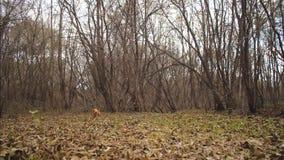 Funzionamenti del cane da caccia lungo le foglie di autunno in parco Movimento lento video d archivio