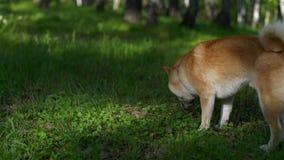 Funzionamenti del cane di Shiba nel legno video d archivio