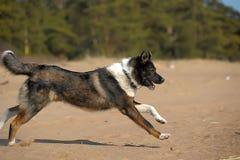 Funzionamenti del cane sulla spiaggia Fotografie Stock