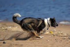 Funzionamenti del cane sulla spiaggia Fotografia Stock