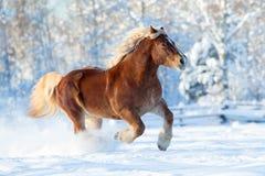 Funzionamenti del cavallo sul fondo di inverno Fotografia Stock Libera da Diritti