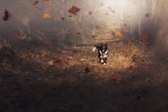 Funzionamenti del cucciolo di border collie felicemente nelle foglie Fotografie Stock