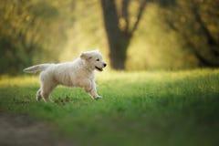 Funzionamenti del cucciolo di golden retriever su erba e su giochi Immagini Stock Libere da Diritti