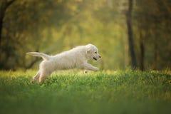 Funzionamenti del cucciolo di golden retriever su erba e su giochi Immagine Stock