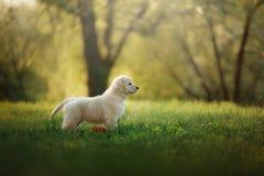 Funzionamenti del cucciolo di golden retriever su erba e su giochi Immagini Stock