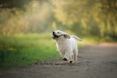 Funzionamenti del cucciolo di golden retriever su erba e su giochi Fotografia Stock Libera da Diritti